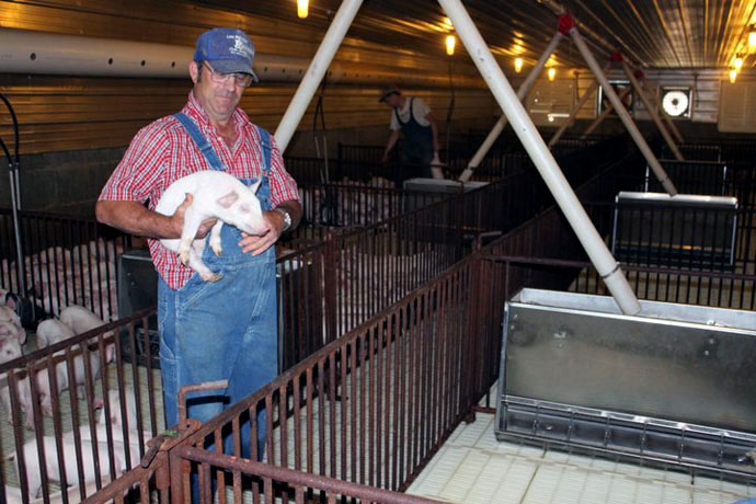 One of the Condray Family's employees stops to check on this young pig in the nursery barn.